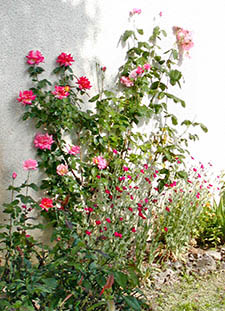 Roses climbing the side of our vacation rental house in Burgundy, France.